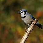 Blue Jay on a Birch by Bill McMullen