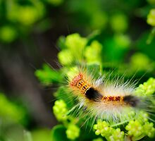 long haired caterpillar - Tussock/Gypsy Moth?  by nadine henley