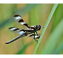 Twelve-spotted Skimmer  Photographic Print