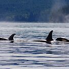 Orcas by zumi