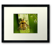 Bombus Mixtus: A Fuzzy Yellow Insect-Bear Framed Print