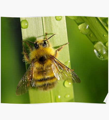 Bombus Mixtus: A Fuzzy Yellow Insect-Bear Poster
