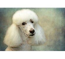 Standard Poodle Photographic Print
