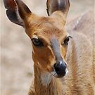 THE ELEGANT BEAUTY OF THE BUSHBUCK MOTHER - Bushbuck – (Tragelaphus scriptus) by Magriet Meintjes