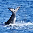 Head Stand - Humpback Whale by Barbara Burkhardt