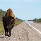 A Bison on the Road to Yellowknife, NWT by Don Arsenault