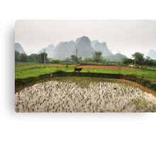Buffalo in a rice field, Guilin, China Canvas Print