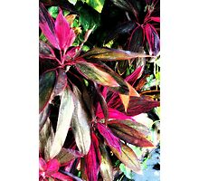 Red Leaved Plant (painted) Photographic Print