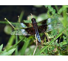 Blue widow skimmer. Photographic Print