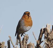 SINGING ROBIN by andysax