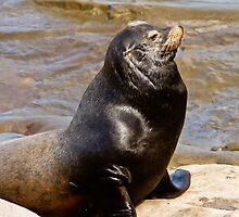 Sea Lion by bengraham