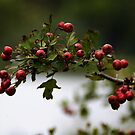 Red Berries by Country  Pursuits