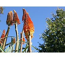 Red Hot Pokers Photographic Print