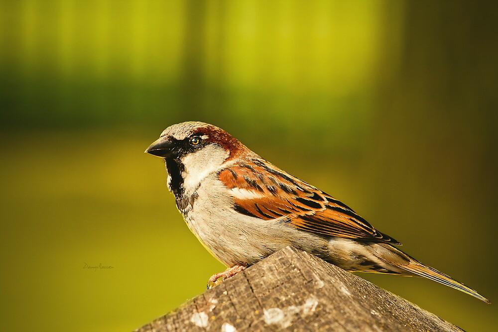 Sparrow by Danny Roozen