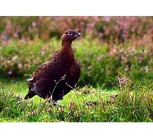 Grouse #1 Photographic Print