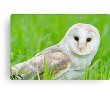 European Barn Owl Canvas Print