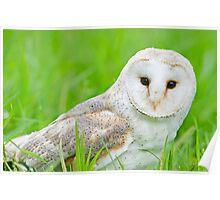 European Barn Owl Poster
