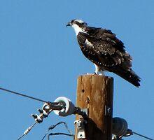 Osprey ~ Marana, AZ by Kimberly Chadwick