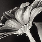 Gerber Daisy I by laurie13