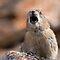 (Land Mammals Category) - Order - Lagomorpha - Rabbits, Hares & PIKAS