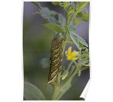 Tomato hornworm .... Poster