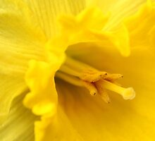 Yellow Daffodil Closeup by hummingbirds