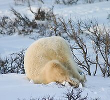 Yoga bear Plow pose by Owed to Nature