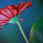 Gerber Daisy II by laurie13