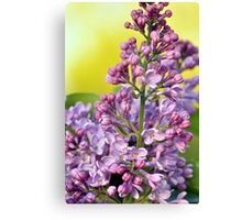 Oh the Aroma of Lilacs Canvas Print