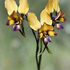 pansy orchid by col hellmuth