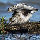 A Golden Moment / Black Bellied Plover by Gary Fairhead
