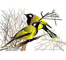 White Eared Honey Eaters Photographic Print