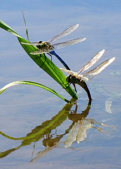 Dragonfly Love ~ Common Green Darner by Kimberly Chadwick