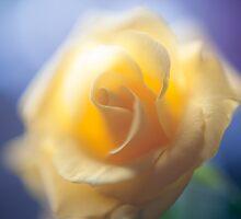 Anniversary Rose by DonDavisUK