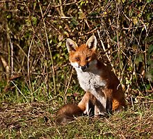 Mr Fox...or Mrs or Miss or Ms!!!! by Shaun Whiteman
