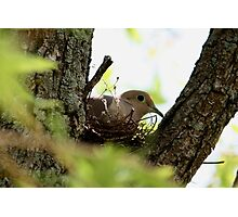 Dove Nesting Photographic Print