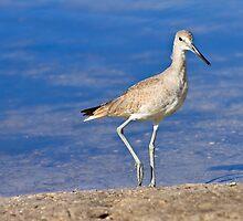Willet Bird by bengraham