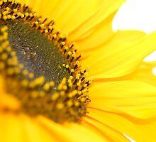 Yellow Sunflower by evelynlarner