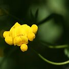 Bird's Foot Trefoil (Lotus Corniculatus)... by Larry Trupp