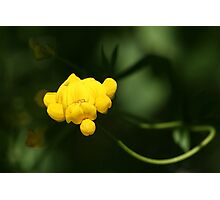 Bird's Foot Trefoil (Lotus Corniculatus)... Photographic Print