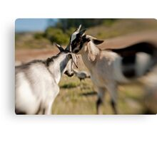 Goat Fight Canvas Print