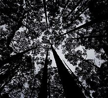 Eucalyptus canopy silhouetted against the sky by Michael Gay