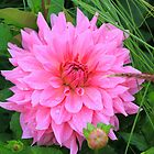 Dahlia  in Luxembourg gardens Paris by Doug Cliff