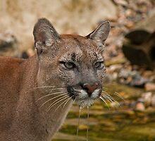 Viktoria the Puma by JMChown