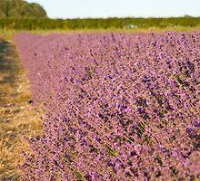 Lavender fields by Ian Middleton