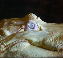 Albino Alligator Up Close by imagetj