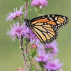 Monarch and Blazing Star 1-2015 by Thomas Young