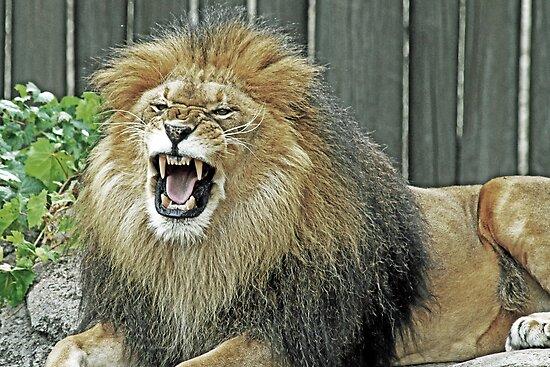 Lion King by Jeff  Burns