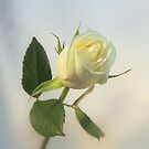 soft white rose by robert194