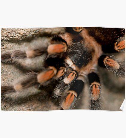Orange Knee'd Tarantula  Poster